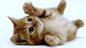 gattini